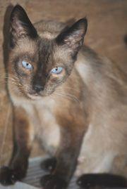 HELENA - Siam Mix Katze sucht