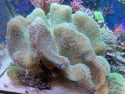 Pilzleder Koralle XXL Meerwasser