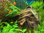 Wagtail-platy jungfische