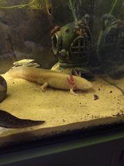 Axolotl Bali sucht ein Zuhause