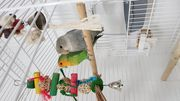 Agaporniden Unzertennlich Papageien mit Voliere