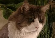 Main Coon Kater - Nooby