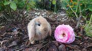 Zwergwidder Nhd Kaninchen abzugeben