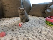 Süßes BKH Kätzchen sucht noch