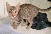 Kitten Kater sucht sein Zuhause