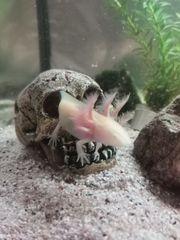 Axolotl Nachzucht abzugeben