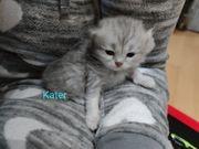 4 Britisch Langhaar Kitten BLH