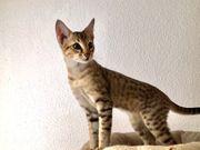 Savannah Kitten F6sbt