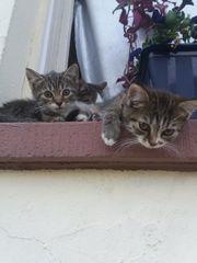 persermischlinge kitten