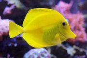Suche Hawaiidoktor Fisch Zebrasoma flavescens
