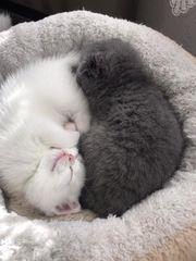 BKH Kitten Ein Junge und
