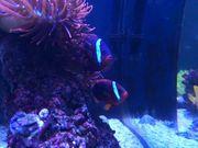 Amphiprion Frenatus - Weißbinden-Glühkohlen-Anemonenfische mit Kupferanemone