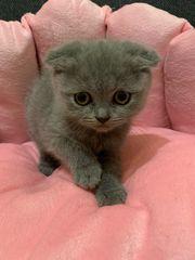 Niedliche BKH Kitten abzugeben
