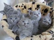 Russisch Blau Kitten mit Stammbaum