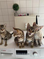 Katzen Babys zu verkaufen