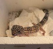 M W Zwei Leopardgeckos