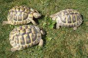 3 männliche Griechische Landschildkröte THB