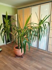 Yucca-Palme 1 50 bis 1