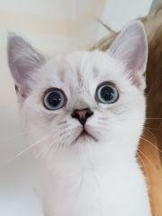 Scottish straihgt Kätzchen Silver 3