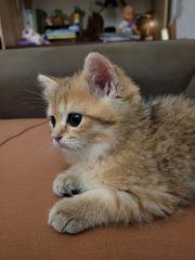 BKH Kittens zum reservieren