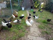Junghühner