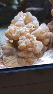 Nemenzophyllia turbida Koralle selten rar