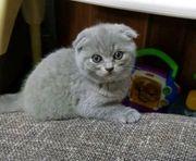 BKH Kitten ab sofort abzugeben