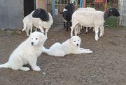 Maremmano Abruzzese Papiere Herdenschutzhund
