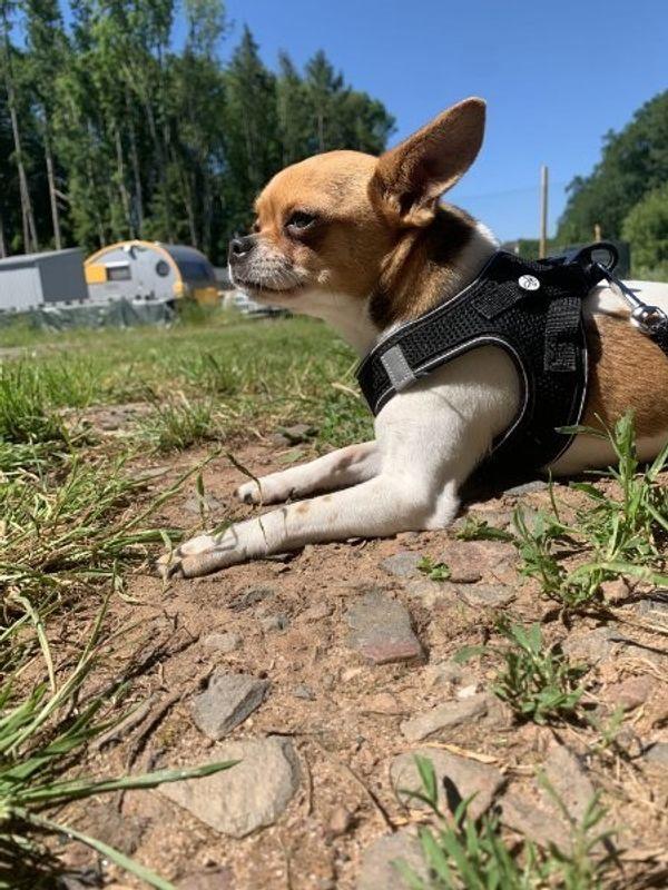 Dringend Chihuahua Hündin Bella 11