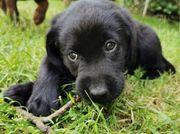 Labrador Welpe reinrassig Hündin