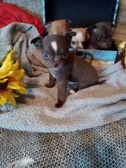 Reinrassige Chihuahua Welpen mit AT
