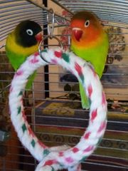 Schönes Agaporniden Paar