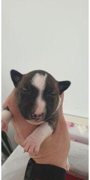 Miniatur Bullterrier noch 1 kleine