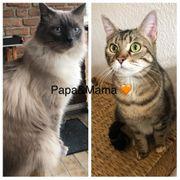 3 Süße Ragdollmix Kitten