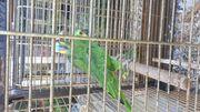 Junge Blaustirnamazonen Hahn und Henne