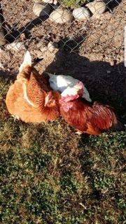 Legehühner Hühner-Zwergühner