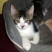 Katzenbub Bellino möchte Dein Herz