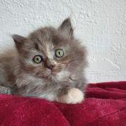 Britisch Kurzhaar Katzenbabys BKH