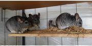 3 Chinchillas mit Käfig in