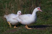 Bio Flugente Bioente Entenbraten Weihnachtsente