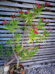 Rosa Oleander sucht neuen Besitzer