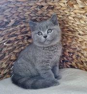 BKH Kitten mit Stammbaum suchen