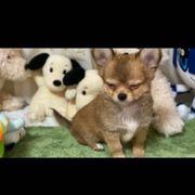 Super süße Chihuahua Welpen dürfen
