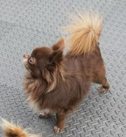 Schoko Brauner Chihuahua Tiermarkt Tiere Kaufen Quoka De