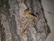 Scorpio maurus palmatus