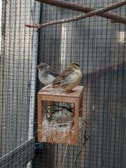 Kanarienvögel Gloster Zebrafinken
