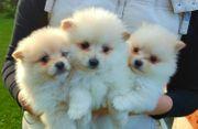 Pomeranian - Zwergspitzwelpen Whatsapp 0015211447907