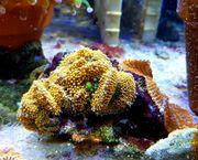 Meerwasser Ricordea florida pro polyp