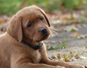 Labrador Welpen Rüden in foxred
