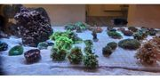 Meerwssser Korallen Grüne Goniopora Ableger